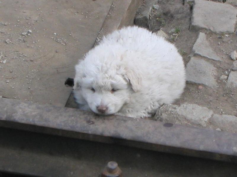 Rail dog