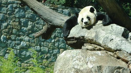 Resting Panda Bear