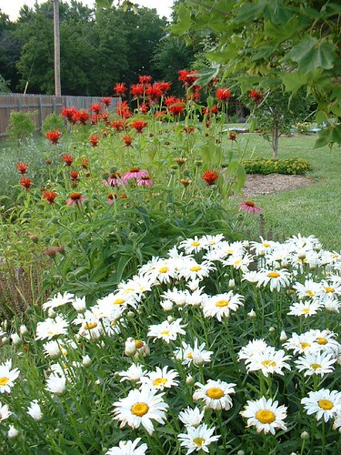 daisies and bee balm