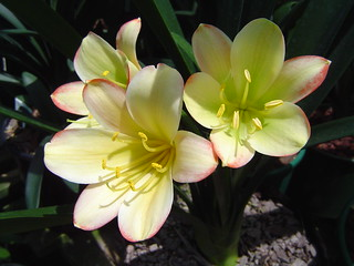 Fantasy Clivia - Photo courtesy of Alick & Frances McLeman (Flicker Gallery)