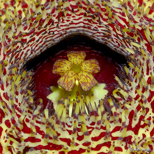 Huernia hystrix flower Corona macro by Martin_Heigan