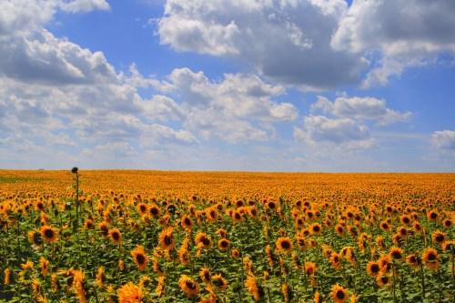 Ein Feld voller Sonne