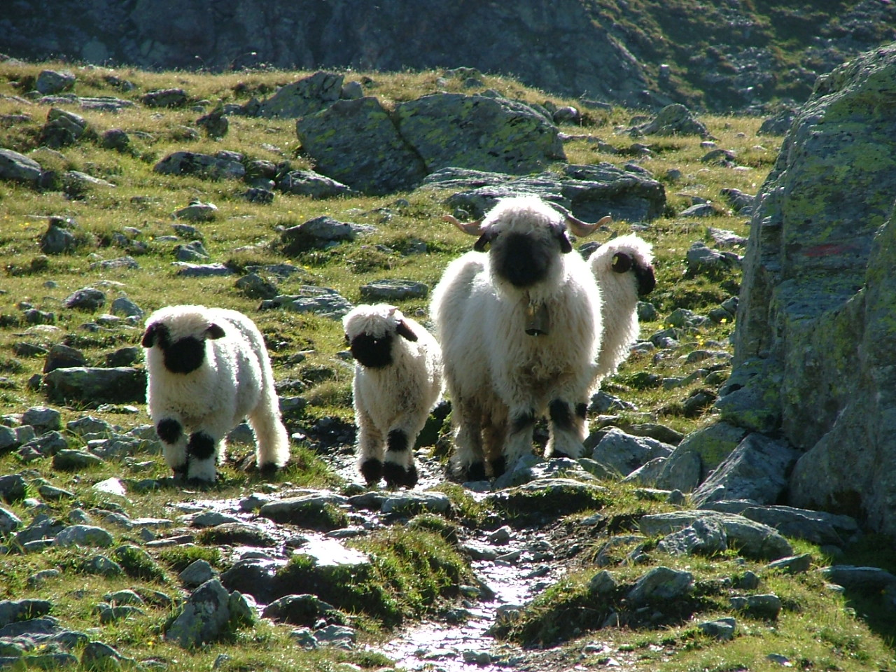 Swiss Sheep