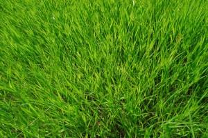 """I see grass of green"" di chriscom"