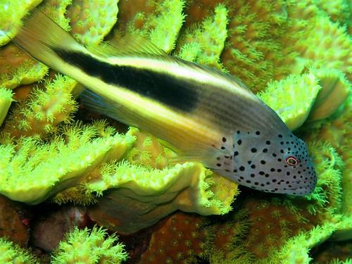 Blackside Hawkfish - Paracirrhites forsteri