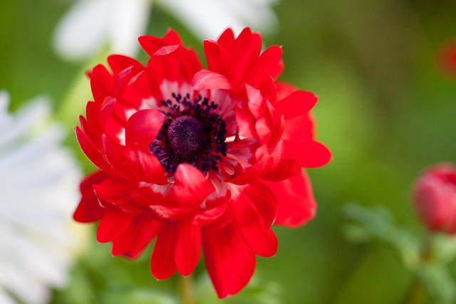 """Flower, Anemone """"De Caen Double"""""""