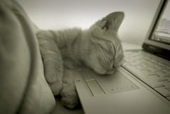 Kitten Sleeping on Computer Keyboard