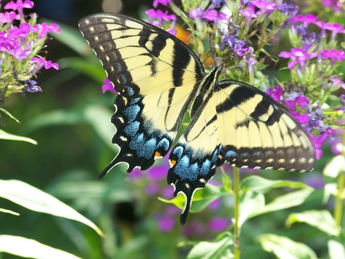 Butterfly: creative commons license