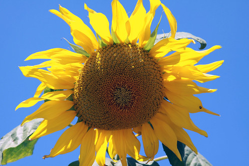 sunflower in a blue sky