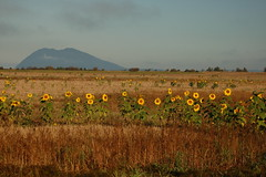 Sunflowers with Lummi Peak