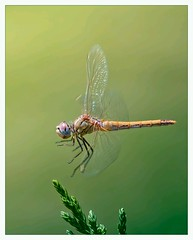 Dragonfly, by Antonio DГѓВaz
