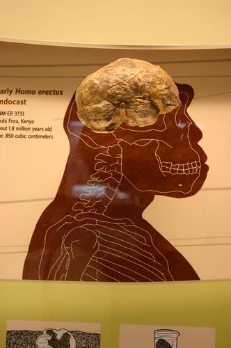 Homo erectus cranial endocast