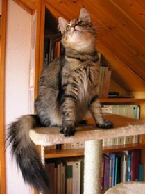 The Norwegian Forest Cat - La Neska model