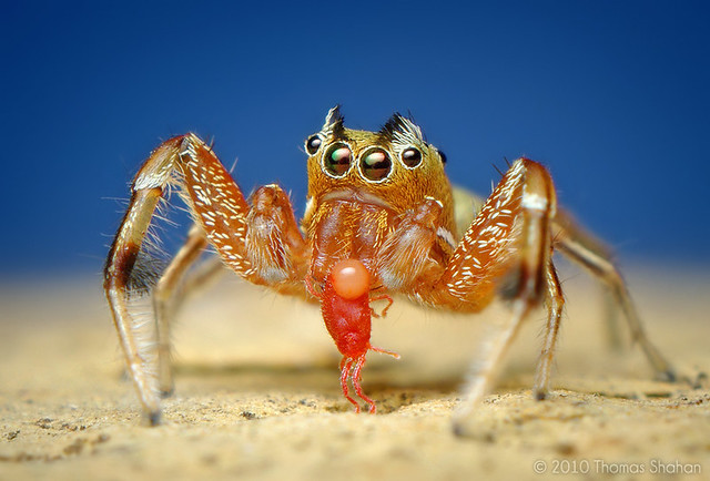 Adult Male Tutelina elegans Jumping Spider Eating a Red Mite