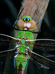 Dragonfly close up, unknown