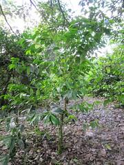 coffee tree