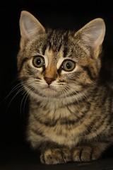 Kitten 01a