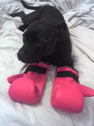 Staffie with boxing gloves