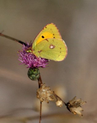 Female Clouded Yellow Butterfly (Colias crocea)