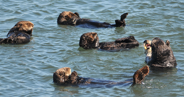 Half a dozen sea otters in quiet waters. Some are just floating on their backs, with their dear little hind flippers flapping in the air. Two look like they're wrestling. Or possibly ballroom dancing.