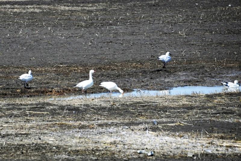 _DSC5859 Snow Goose