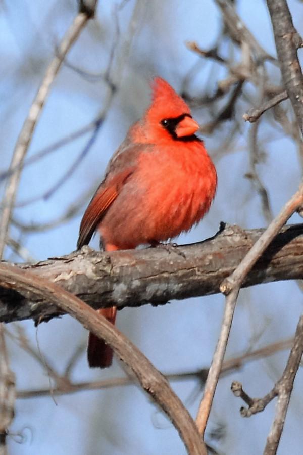 _DSC5020 Northern Cardinal