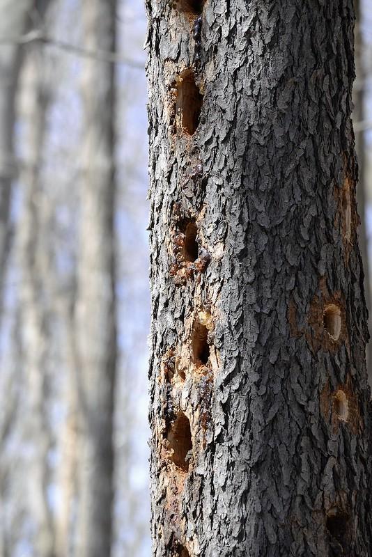 _DSC6260 Woodpecker Holes