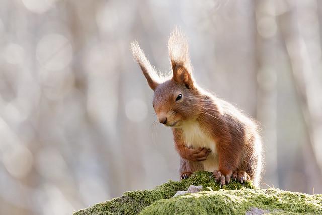 Red Squirrel with Tummy Ache?