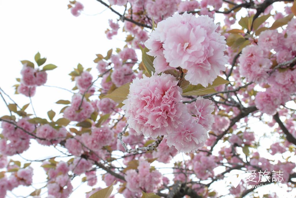 京都赏樱景点 元离宫二条城 16