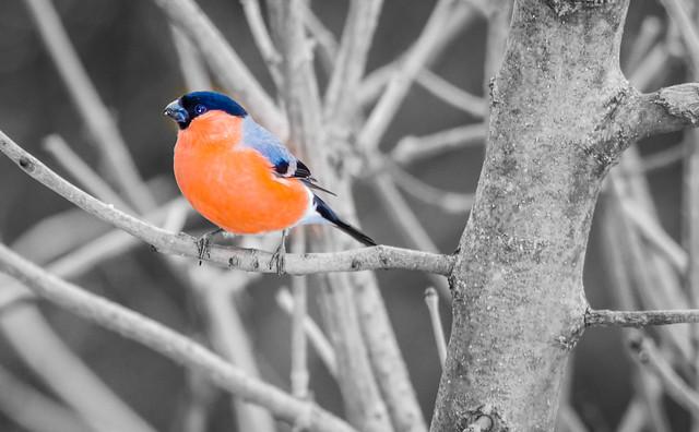 Colour splash Bullfinch