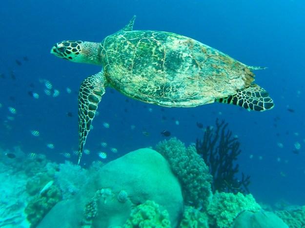 Sea turtle at Pulau Hatta