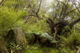 Native Bush (Stewart Island / Rakiura)