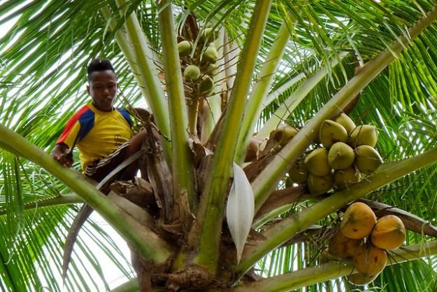 Cutting coconuts. Putih Lessi Indah