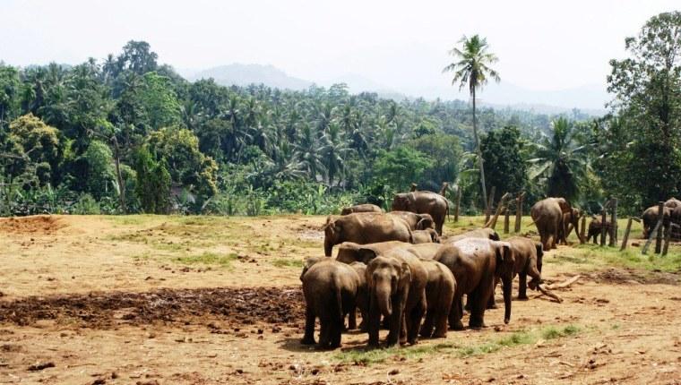 43 Pinnawala Elephant Orphanage