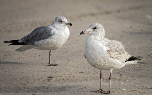 Double Gull stare-down