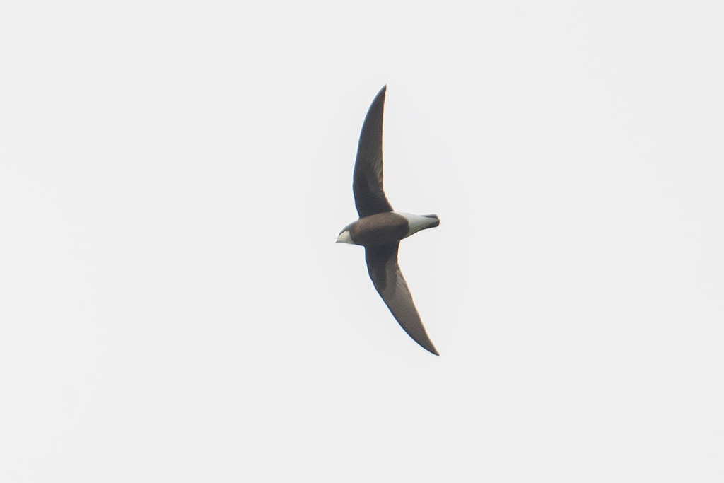 White-Throated Needletail 白喉針尾雨燕 - Swifts & Swallows 燕與雨燕 - HKBWS Forum 香港觀鳥會討論區 - Powered by Discuz!