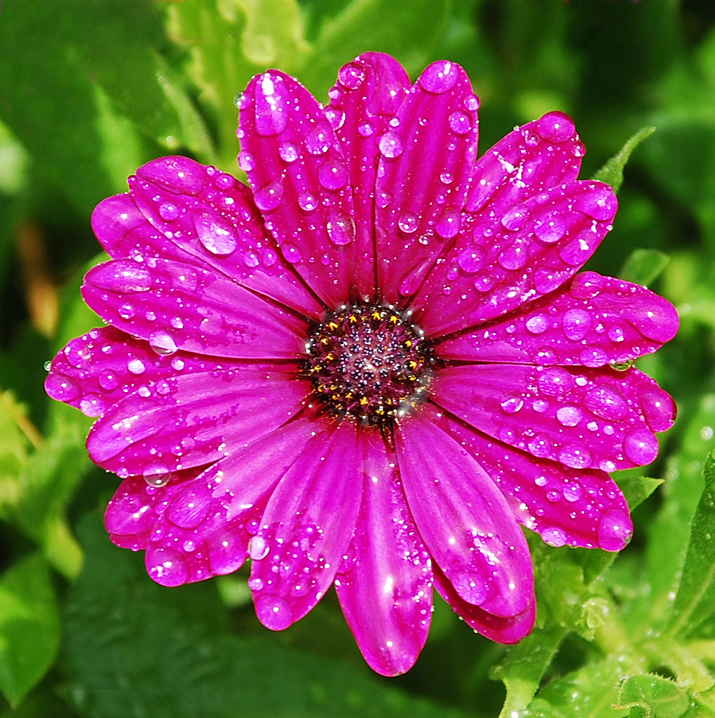 purply daisy after rain