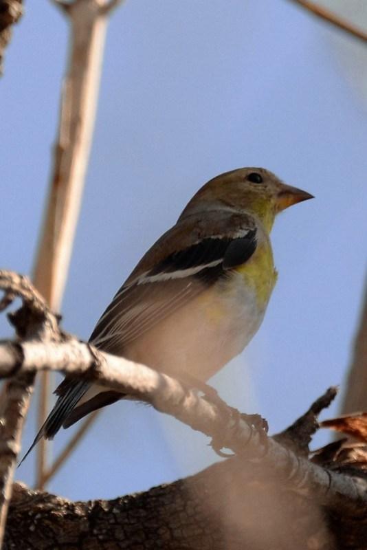 _DSC6074 American Goldfinch