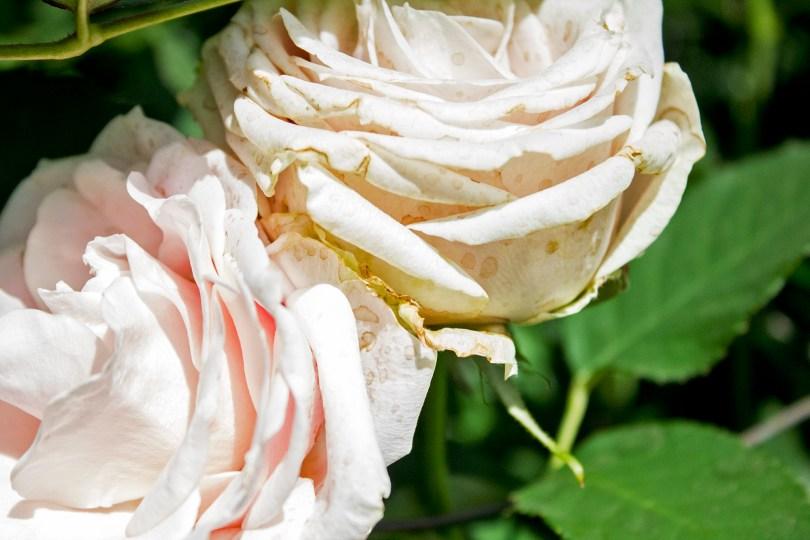 longwood-roses-detail