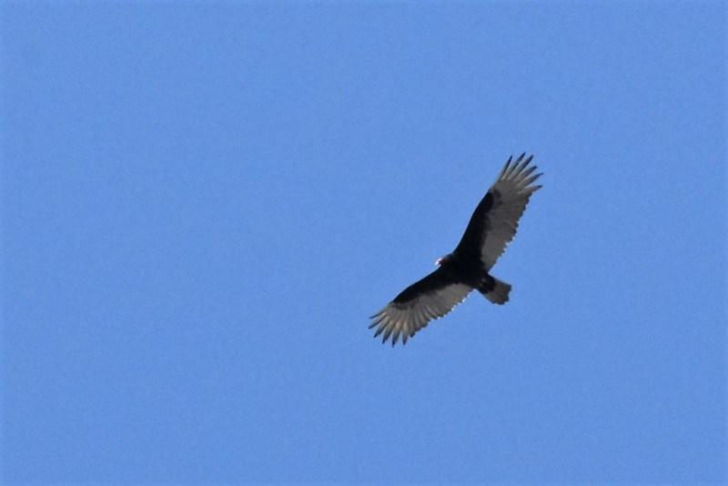 _DSC3655 Turkey Vulture