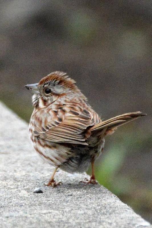 _DSC6867 Song Sparrow
