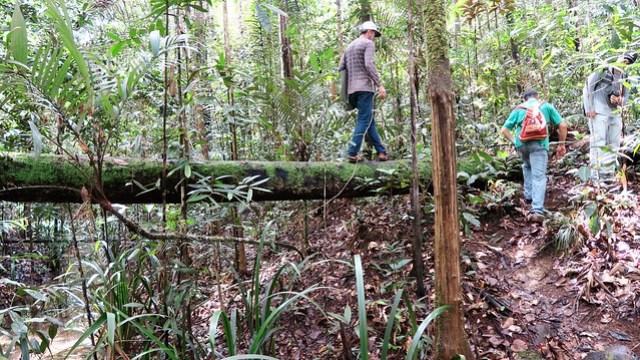 crossing a wooden log amazon rainforest