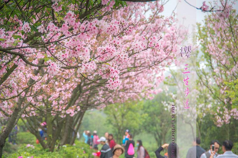 【台北】。新北市賞櫻景點~粉色櫻花林『三芝三生步道』  賞桐花趣!