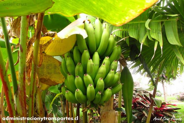 Jardín Botánico Tau Kiani (Isla de Pascua) - Plátanos