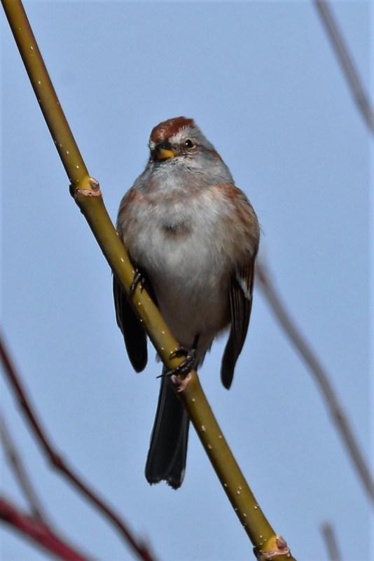 _DSC5785 Amerian Tree Sparrow