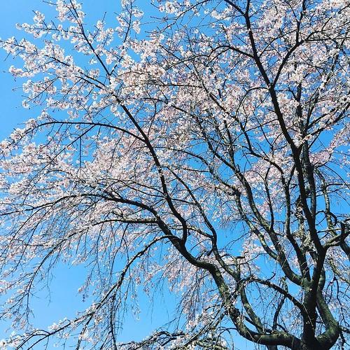 昼になって晴れました。三春のしだれ桜だそうです。