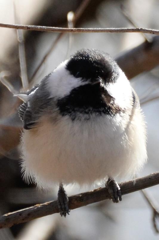 _DSC4968 Black-capped Chickadee