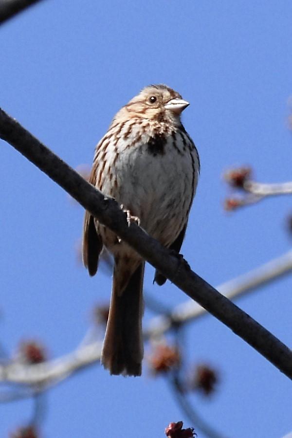 _DSC6623 Song Sparrow