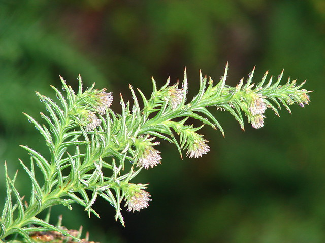 starr-090130-1391-Cryptomeria_japonica-needles_and_cones-Puu_Nianiau-Maui