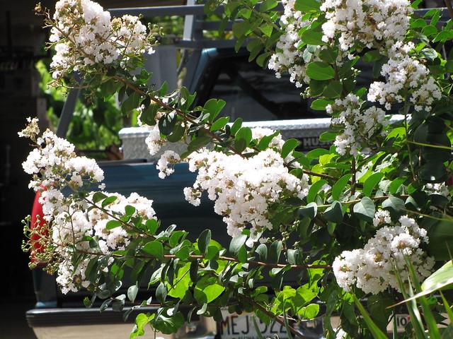 starr-090720-3013-Lagerstroemia_indica-flowers_and_leaves-Waiehu-Maui